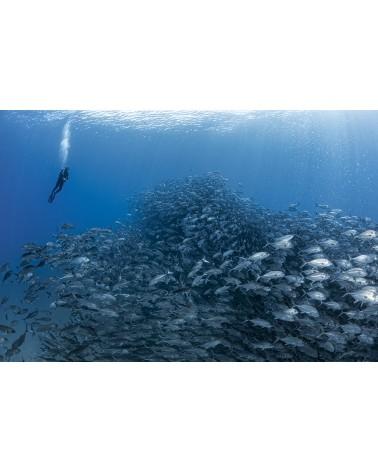 Traffic Jam - photographie Fabrice Guérin  Banc de Carangues avec plongeur