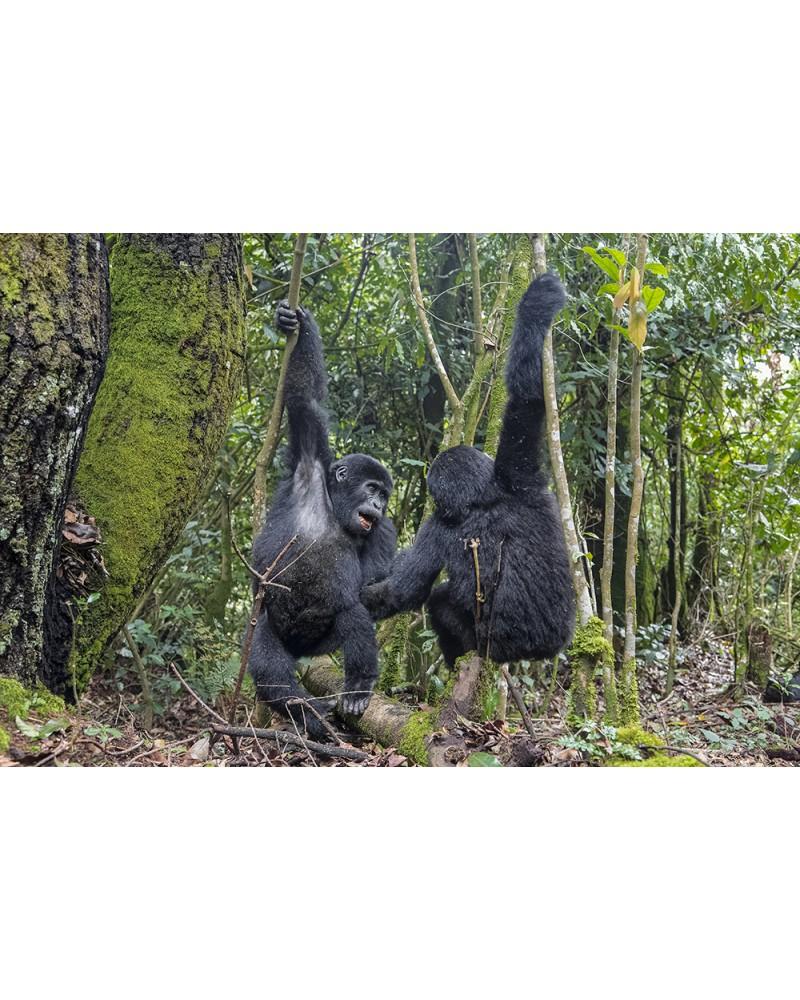 Danse des gorilles - photographie Fabrice Guérin  Deux jeunes gorilles s'amusant en face à face