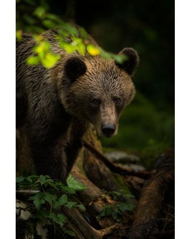 Face à face avec l'ours brun européen - photographie Fabien Gréban   Portrait d'ours brun dans une forêt slovène