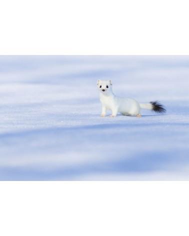 Du blanc, du bleu et une touche de noir - photographie Fabien Gréban   Hermine blanche sur la neige