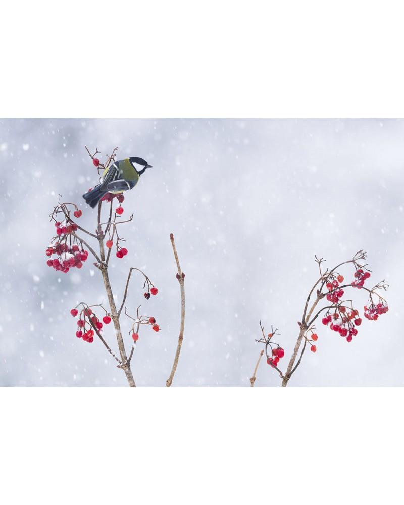 Les couleurs de l'hiver - photographie Fabien Gréban   Mésange charbonnière sous une averse de neige