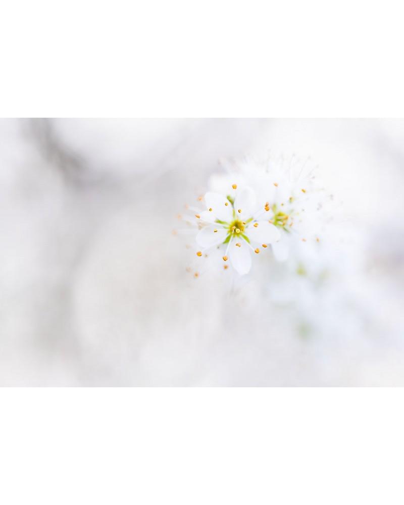 C'est le printemps !!! - photographie Fabien Gréban   Fleurs de prunelier