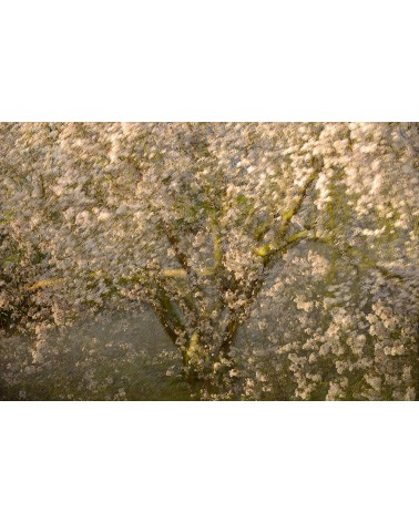 Awakening of the Spring - photographie Arnaud Nédaud  Prunus au printemps