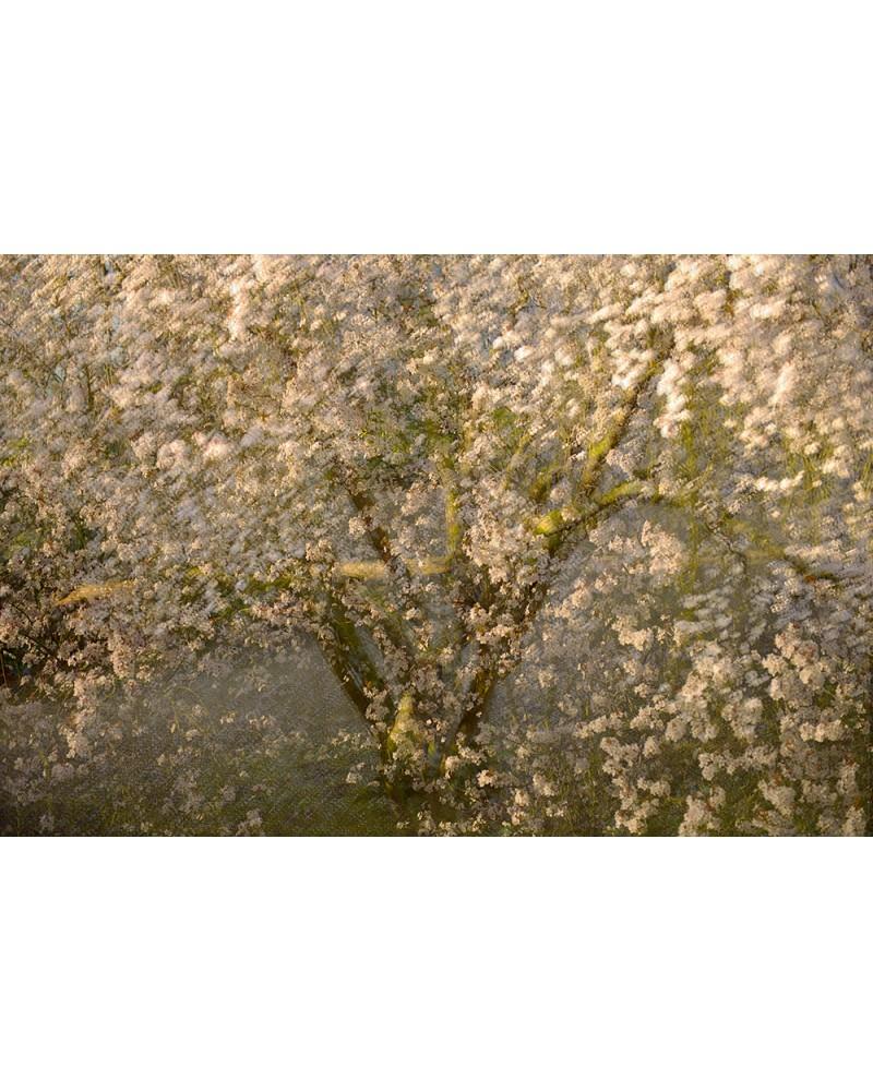 Awakening of the Spring - photographie Arnaud Nédaud  Prunus au printemps