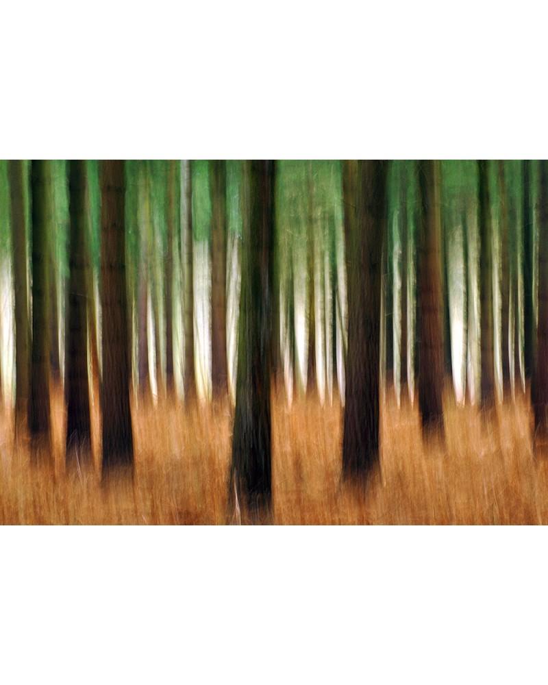 Pinède d'automne - photographie Arnaud Nédaud  Pinède en automne