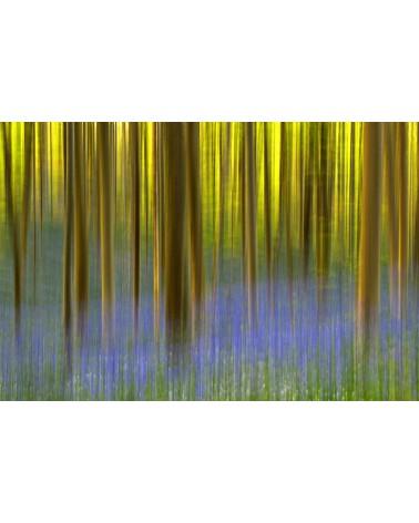 Les âmes du bois de Hal - photographie Arnaud Nédaud  Floraison des jacinthes des bois