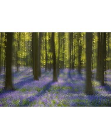 Hallerbos dream - photographie Arnaud Nédaud  Floraison des jacinthes des bois