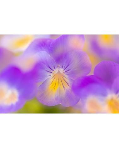 Viola paradise - photographie Arnaud Nédaud  Pensées