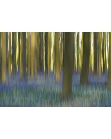 Bois de Hal - photographie Arnaud Nédaud  Floraison des jacinthes des bois