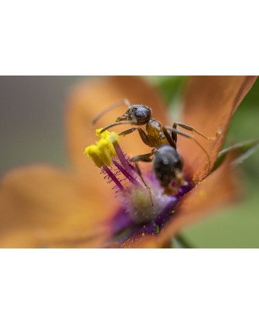 Ne te fais pas de mouron - photographie Diane & Olivier Castanet-Hervieu   Face à face étamine, fourmi grise