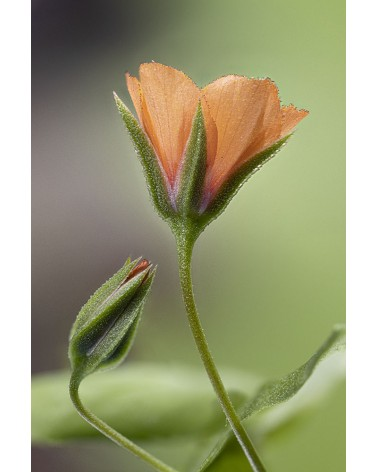 Aie confiance - photographie Diane & Olivier Castanet-Hervieu   Un bourgeon et une fleur de mouron