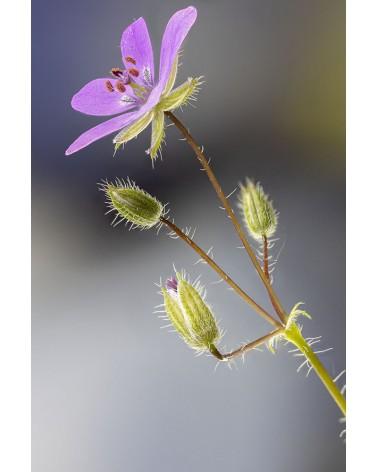 Bec de grue - photographie Diane & Olivier Castanet-Hervieu   Fleur de bec de grue en contrejour