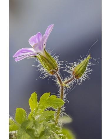 Le pourpre poilu - photographie Diane & Olivier Castanet-Hervieu   Fleur et bourgeon de géranium pourpre