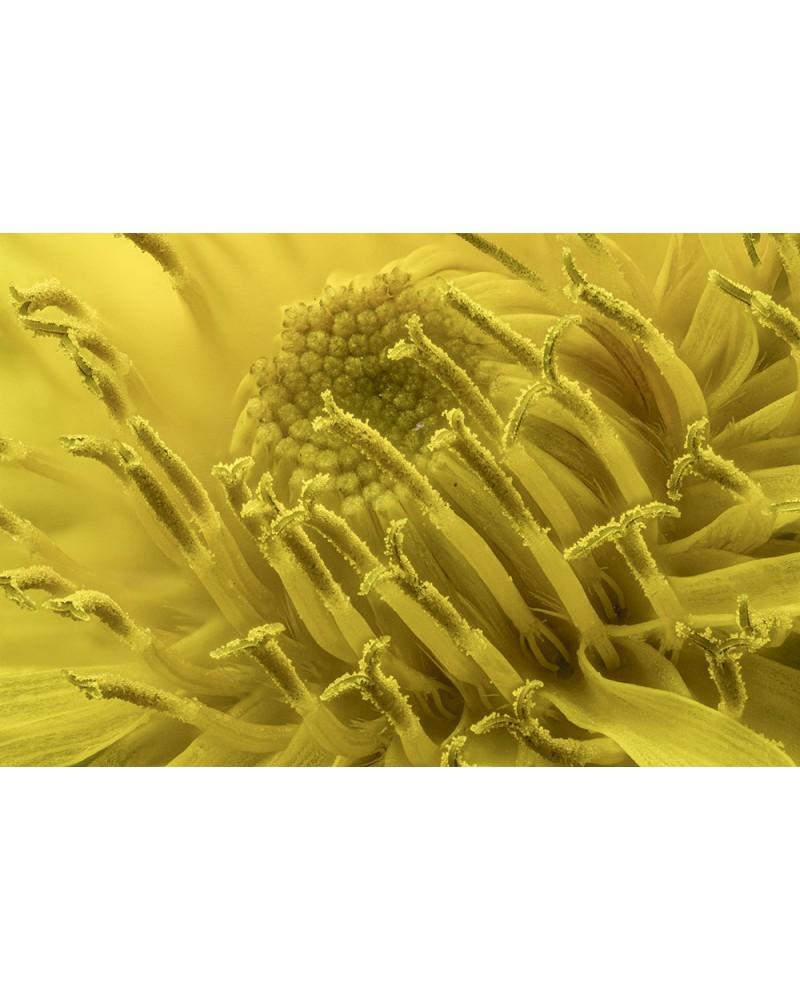 Au cœur de la fleur - photographie Diane & Olivier Castanet-Hervieu   Cœur d'une fleur de pissenli aux innombrables étamine