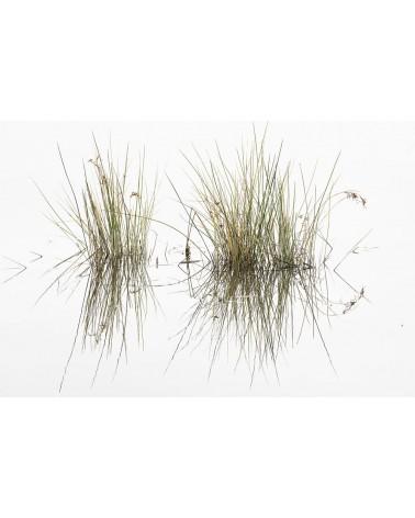 les deux touffes - photographie Diane & Olivier Castanet-Hervieu   Deux touffes de roseaux avec leur reflet dans l'eau semb