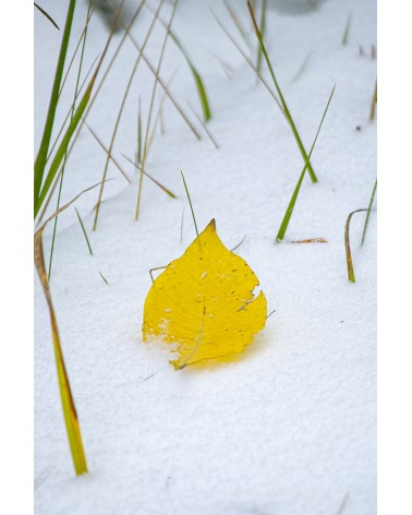 Winter is coming - photographie Diane & Olivier Castanet-Hervieu   Feuille d'automne sur un tapis de neige dont ressortent
