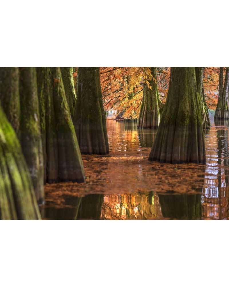 La Louisiane au cœur des montagnes du Jura - photographie Nicolas Gascard   Cyprès chauve au coeur d'un étang situé au sud des