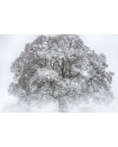 L'Arbre Roi - photographie Nicolas Gascard   Apparition majestueuse d'un chêne au coeur de l'hiver.