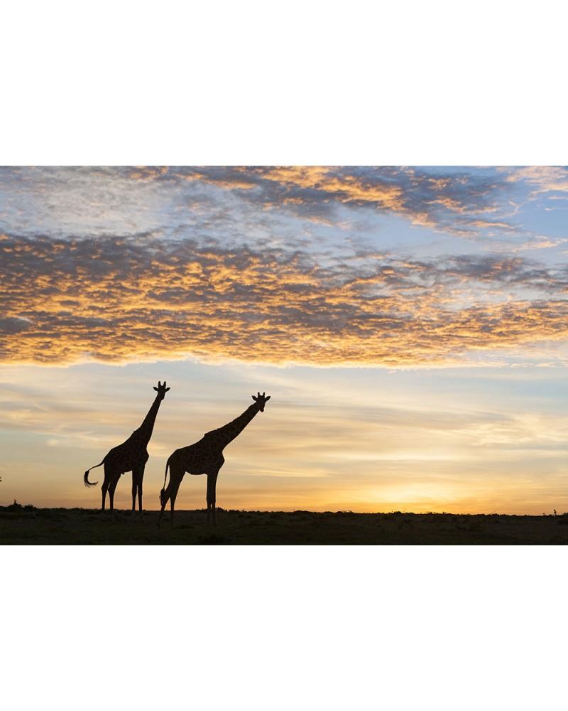 Deux girafes au lever du soleil - photographie Christine & Michel Denis-Huot   Silhouettes de girafes à la sortie du camp a
