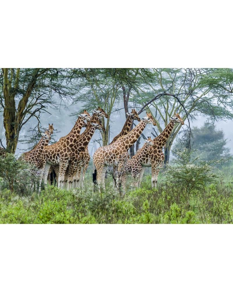 Troupe de girafes sous la pluie - photographie Christine & Michel Denis-Huot   girafes affrontant l'orage sous des acacias