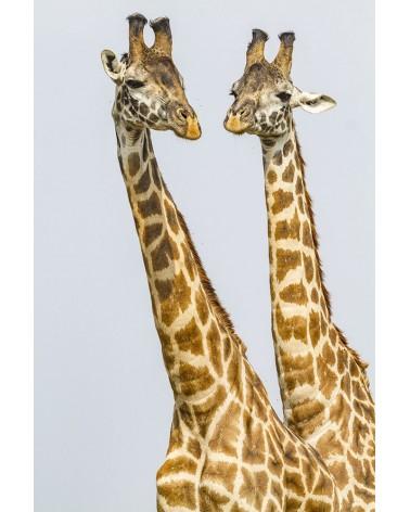 Portrait de mâles girafe - photographie Christine & Michel Denis-Huot   Ces deux mâles s'affrontent dans une joute