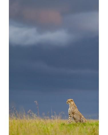 Mâle guépard et ciel d'orage - photographie Christine & Michel Denis-Huot   Mâle guépard cherchant une proie dans la plaine