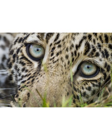 Regard léopard - photographie Christine & Michel Denis-Huot   Jeune léopard au regard plein de curiosité