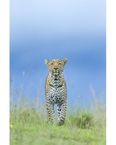 Léopard en chasse - photographie Christine & Michel Denis-Huot   jeune mâle léopard chassant