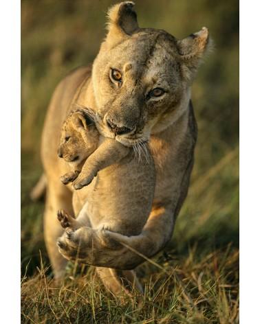 Lionne transportant son bébé - photographie Christine & Michel Denis-Huot   lionne changeant un à un ses bébés de cachette