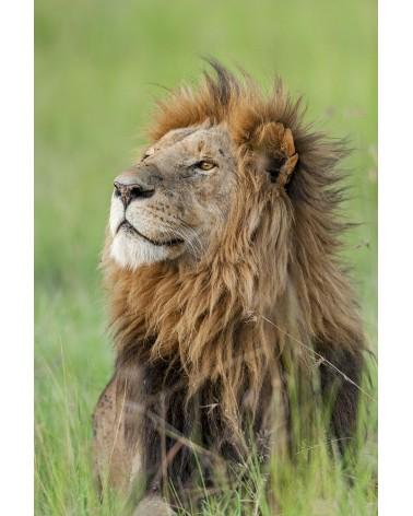 Lion majestueux - photographie Christine & Michel Denis-Huot   Portrait de lion mâle au coucher du soleil