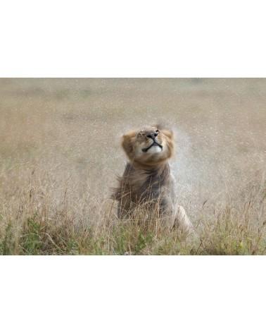 Lion après la pluie - photographie Christine & Michel Denis-Huot   lion mâle secouant sa crinière après la pluie