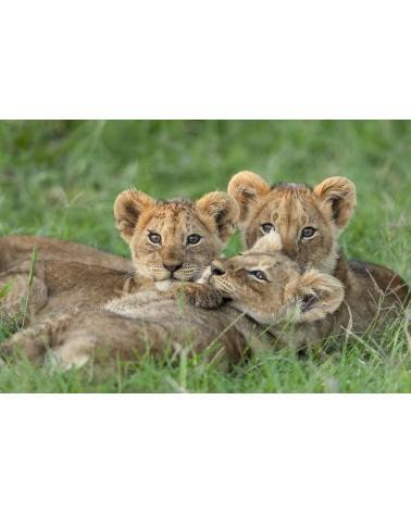 Lionceaux à l'aube - photographie Christine & Michel Denis-Huot   lionceaux tendrement serrés les uns contre les autres à