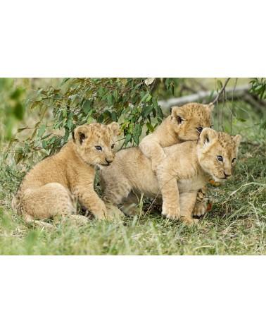 Jeux de lionceaux - photographie Christine & Michel Denis-Huot   Bébés lions de 7/8 semaines jouant près de leur mère