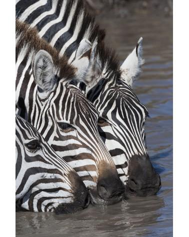 Zèbres buvant - photographie Christine & Michel Denis-Huot   Zèbres de Grant buvant dans la rivière Mara
