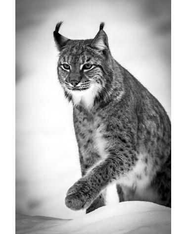 Grosse patte - photographie Franck Fouquet  Lynx boréal dans la neige