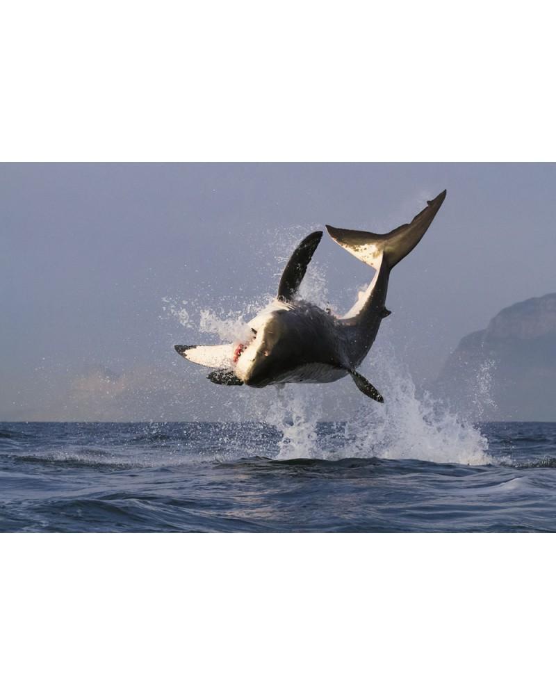 L'envolée du Grand Requin Blanc - photographie Eduardo Da Forno  Le grand saut du requin blanc