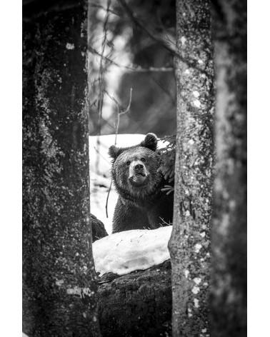 Are you talking to me ? - photographie Franck Fouquet  Ours brun ayant repéré le photographe