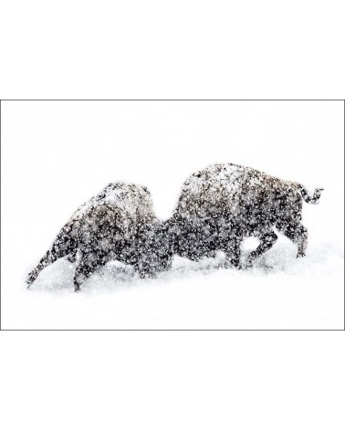 Combat de bisons - photographie Philippe Cabanel  Combat de bisons