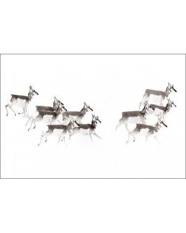 Proghorns dans la neige - photographie Philippe Cabanel  Groupe de Proghorns