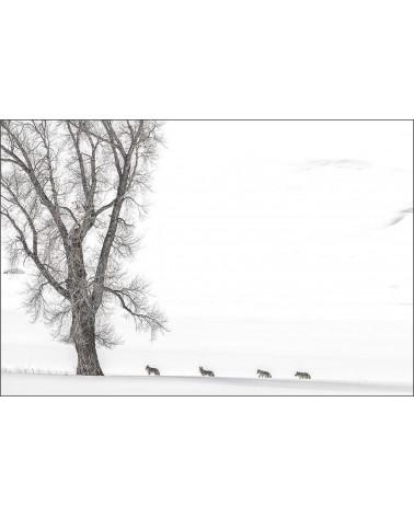 L'errance des coyotes - photographie Philippe Cabanel  Errance de 4 coyotes le long de la rivière