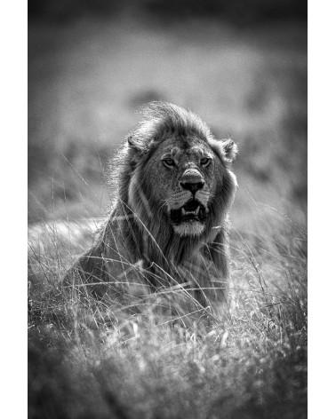 Sa majesté - photographie Franck Fouquet  Lion mâle