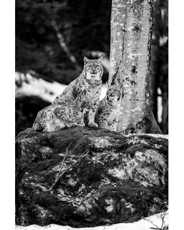 Une jolie famille - photographie Franck Fouquet  Femelle lynx et ses jeunes