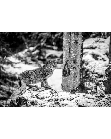 Dominant - photographie Franck Fouquet  Lynx boréal mâle