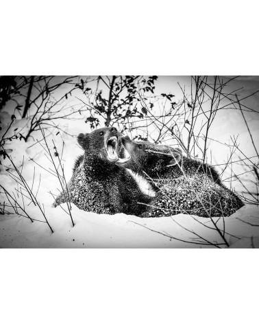 Les grandes gueules - photographie Franck Fouquet  Joute entre deux jeunes ours bruns