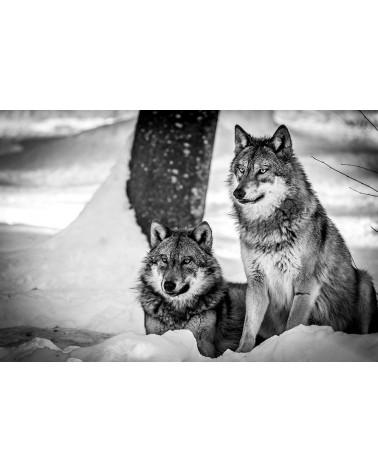 Regards - photographie Franck Fouquet  Loups d'Europe en train de regarder une proie