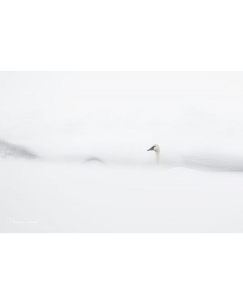 Cygne sur un  ruisseau gelé
