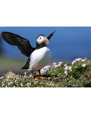 I want to break free ! - photographie Franck Fouquet  Macareux moine déployant ses ailes avant l'envol