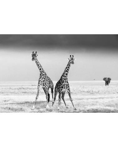 Le combat des géantes - photographie Véronique & Patrice Quillard  Combat entre deux girafes mâles
