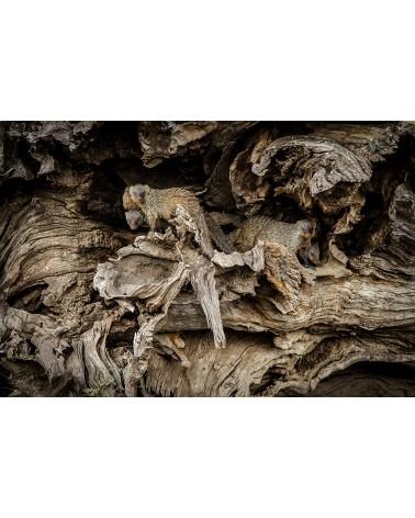 Homochromie - photographie Véronique & Patrice Quillard  Clan de mangoustes rayées dans leur refuge