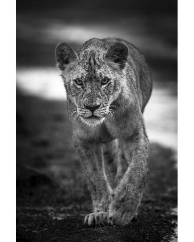 Jeune lion sous la pluie - photographie Véronique & Patrice Quillard  Un jeune lion au caractère bien trempé !